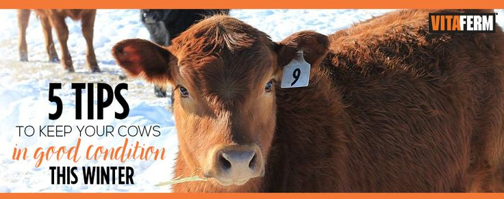 5 Tips For Keeping Cows in Good Condition