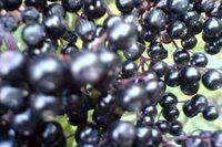 When Are Elderberries Ripe? | eHow
