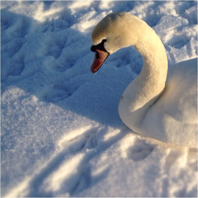 Swan in the snow, Pitsford Water, Northamptonshire, UK