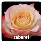 White with Pink Edge 55 Petals Head Size  6.0- 6.5 cm Exclusive at Berkeley Florist Supply