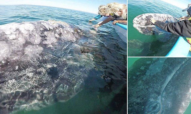 The magical moment diver gets close to a 45ft gray whale and her calf #DailyMail