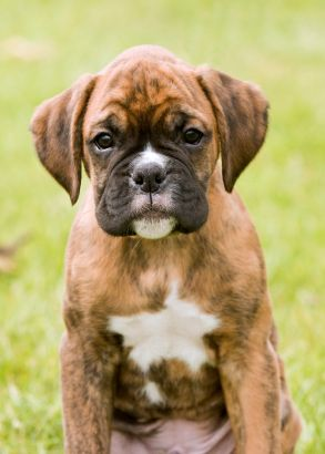 BOXER BABY..*A face only a mother could love - even a human mommy. :-)