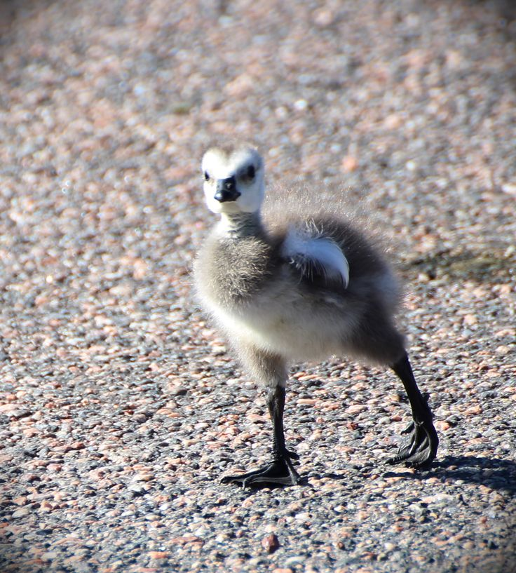 A young barnacle goose taking it's early steps in Helsinki, Finland! #youngbird #birdbabies #barnaclegoose #helsinki #finland #virpikivinen