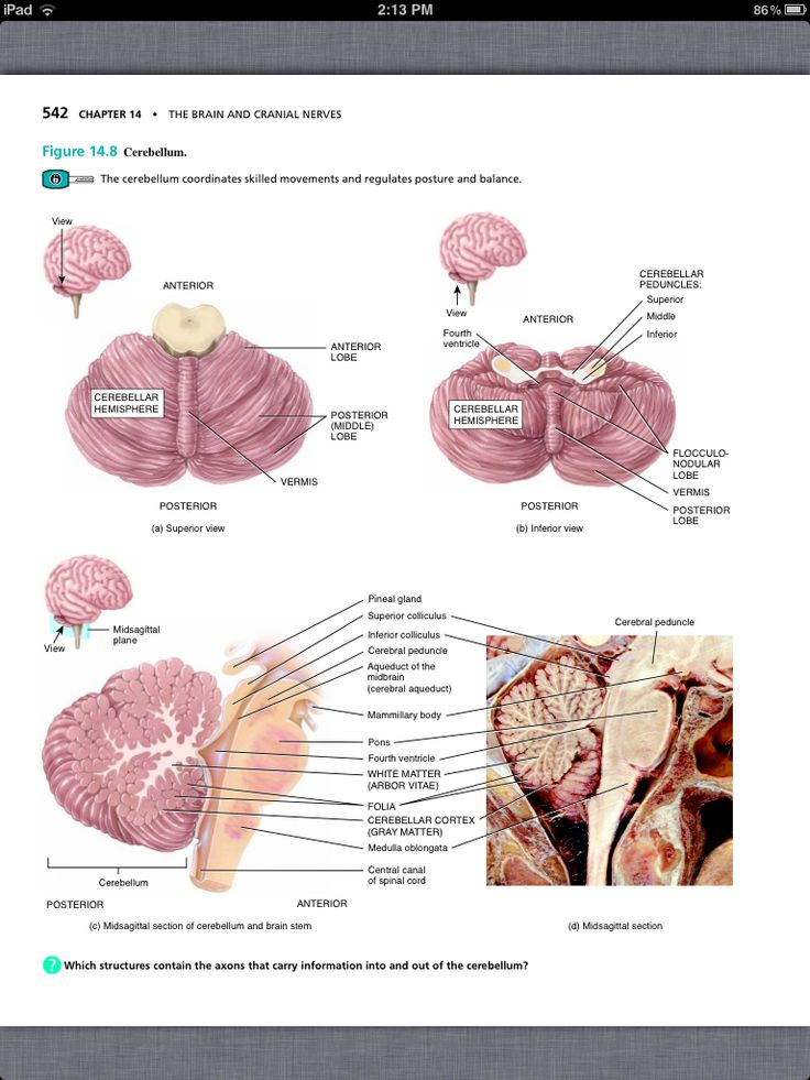 55 best Chapter 14, The Brain and Cranial Nerves images on Pinterest ...