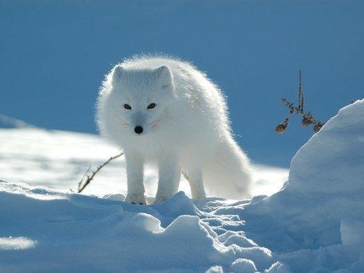 Η Αρκτική αλεπού είναι το είδος που ζει στους Αρκτική, δηλαδή στις πολικές περιοχές του βόρειου ημισφαιρίου. Στο μέγεθος είναι λίγο μικρότερη από την αλεπού των εύκρατων περιοχών. Το χειμώνα δεν πέφτει σε χειμερία νάρκη όπως άλλα ζώα.