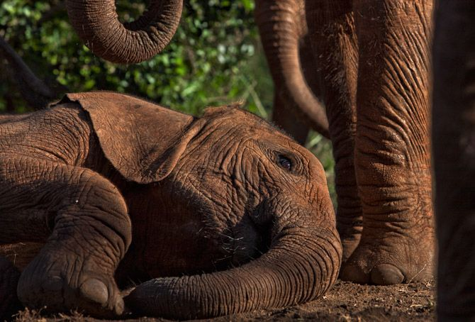 An orphan lies down for a post-feeding nap at the Nairobi nursery. Elephants, among the most intelligent creatures on Earth, may have no future without our help.: Orphan Elephants, Michael Nichols, Africans Elephants, Baby Elephants, Intelligence Creatures, Elephants Shoes, Elephants Adorable, Elephants Naps, Elephants Rino