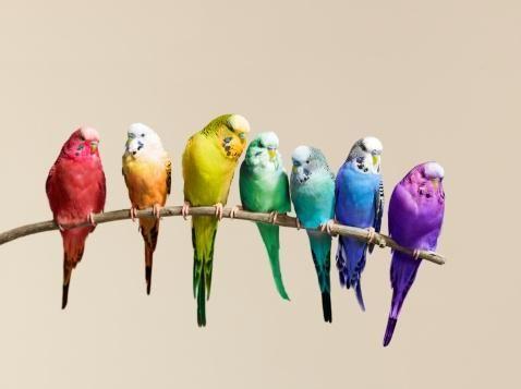 Parakeet rainbow