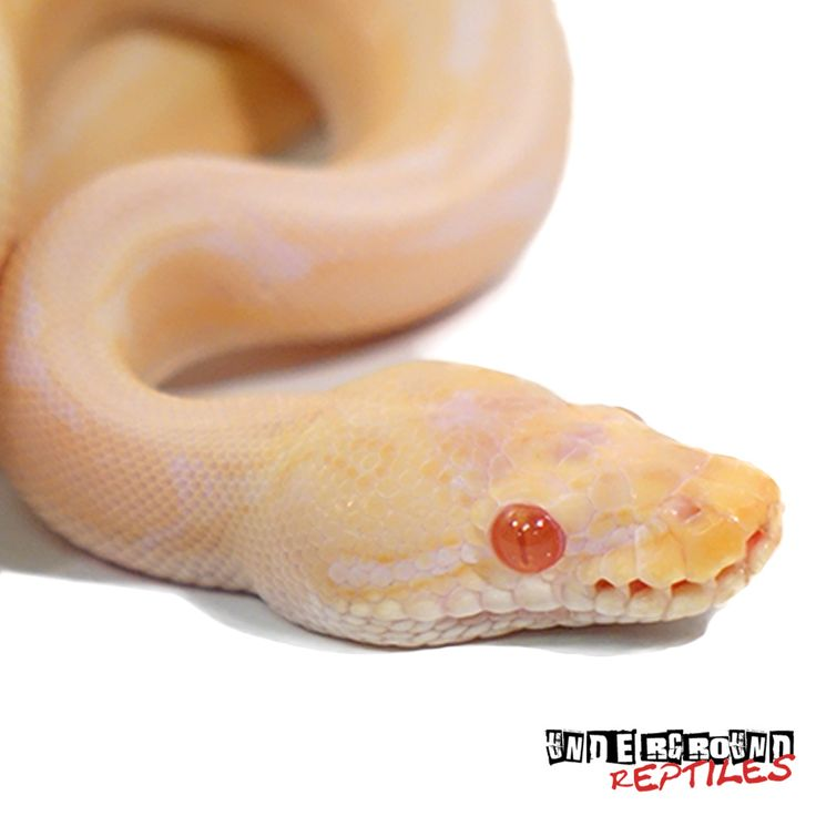 Python regius Captive Bred Males Available 2017 Babies Approximately 26 Inches In Length From Head To Tail Weighing In At 163 Grams And Growing Gorgeous Soft Yellow Bodied Snakes With White Spider Stripes From Head To Tail Curious And Quiet Hunters Feeding On Live And Frozen Thawed Hopper Mice Weekly