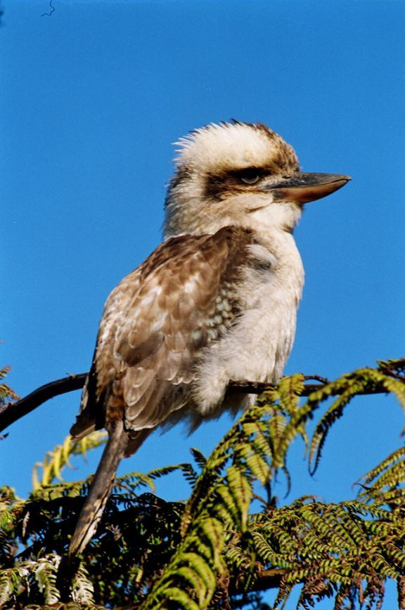 Click here for information on this Australian Kookaburra photo. You can buy handmade greeting cards with this photo for just $4.50 delivered. www.theshortcollection.com.au/Australian-Birds