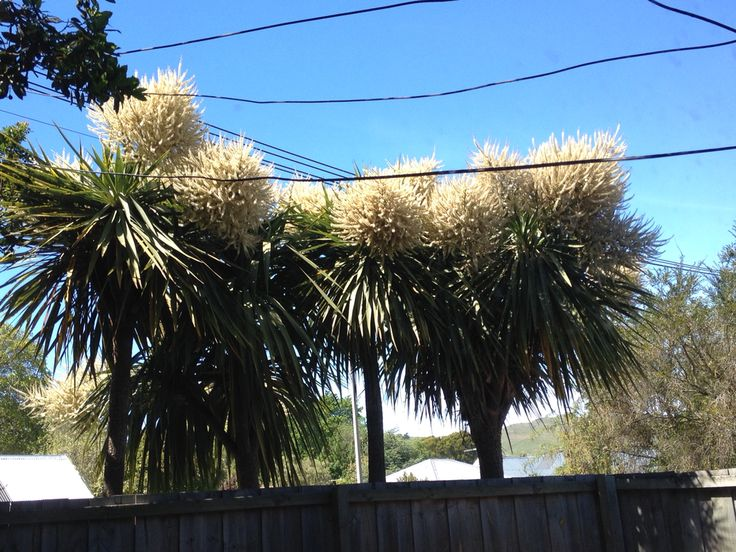Cabbage trees in bloom
