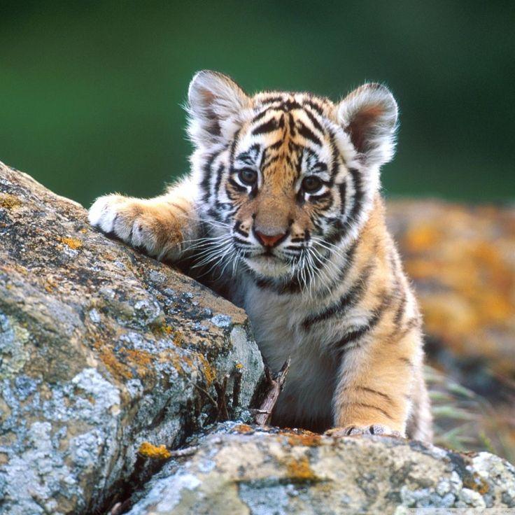 Tiger goes exploring. #BigCatFamily