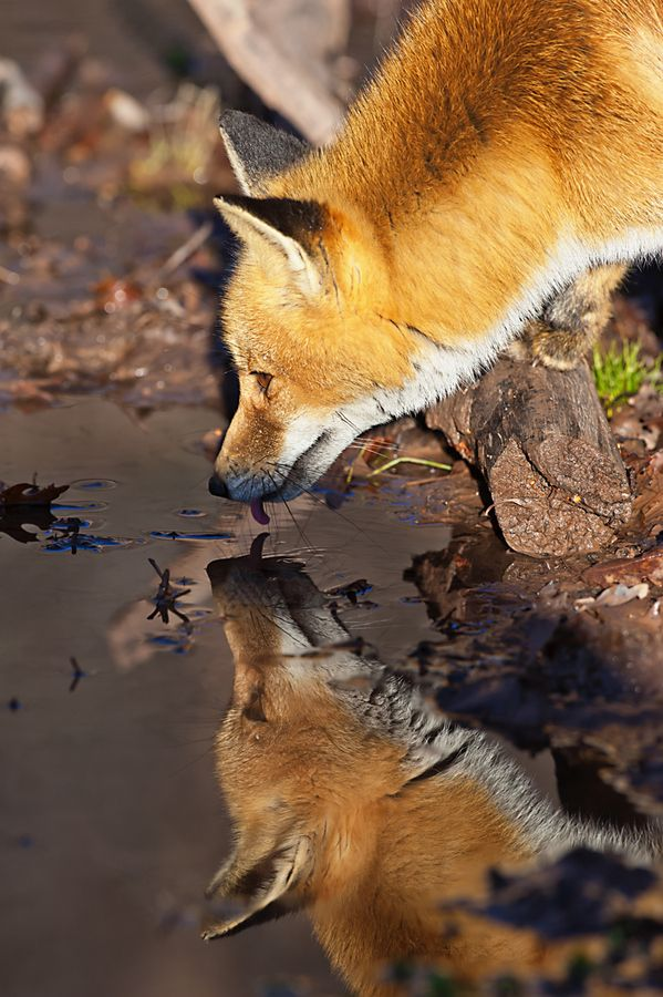 Red fox drinking