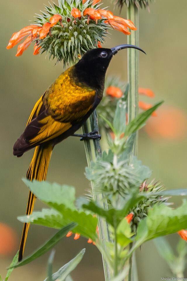 Golden-winged Sunbird (Nectarinia reichenowi)