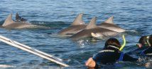 Dolphin Swim Glenelg Aus