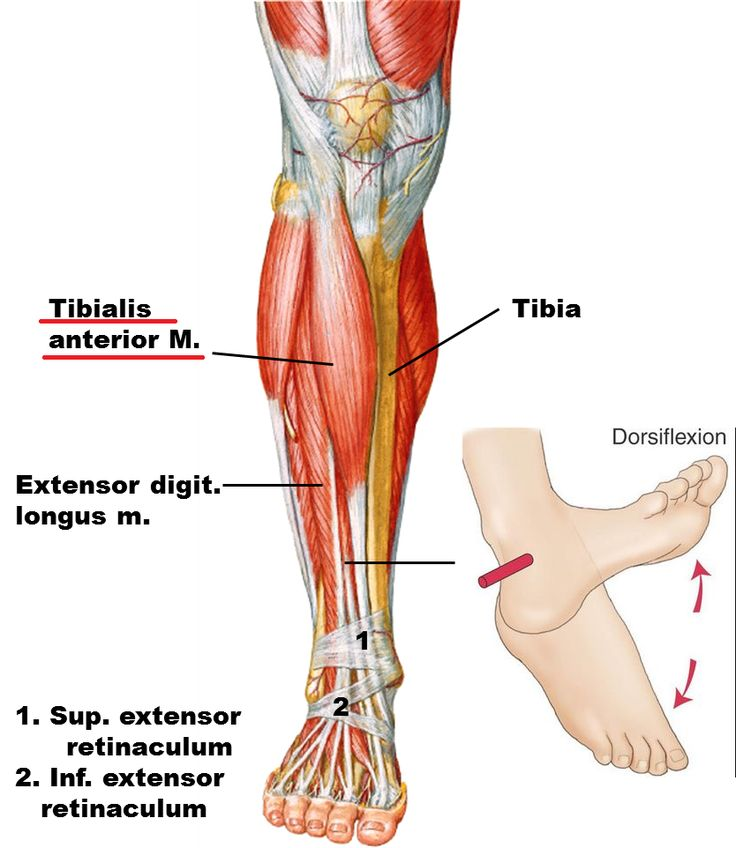 Peroneus longus tendon anatomy