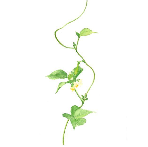 サヤインゲンの花,野菜の花,高塚由子,Yoshiko,Taaktsuka,水彩画,Watercolor,素材