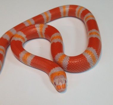 Snakes at Sunset - Tangerine Albino Honduran Milk Snakes for sale (Lampropeltis triangulum hondurensis), $99.99 (http://www.snakesatsunset.com/tangerine-albino-honduran-milk-snakes-for-sale-lampropeltis-triangulum-hondurensis/)