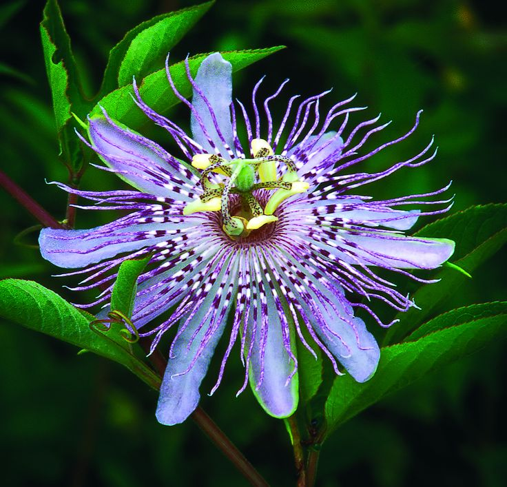Va Native Plant Society: 10 Best Northern Virginia Native Plants Images On