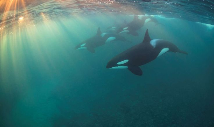 """""""Orcas are easily the most beautiful, intelligent and confident animals I've ever had the honor of s... - Nicholai Georgiou/UPY 2017"""