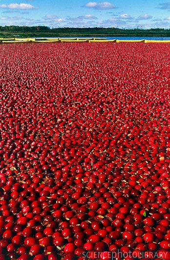 cranberry harvest, Wisconsin::I love this about our state! Fall. 10/2/15