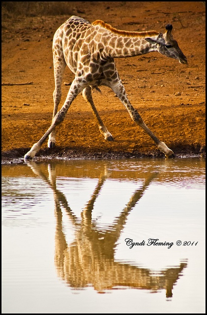 I love to play with reflections. This photo was taken at Thanda Private Game Reserve in KwaZulu-Natal, South Africa while I was working for @Jade Stewart Impact
