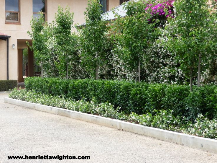 Ornamental Pear with Lilipilly hedge and star jasmine ground cover - perfection