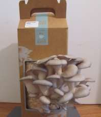 How to grow your own mushrooms...Sprouted Mushrooms