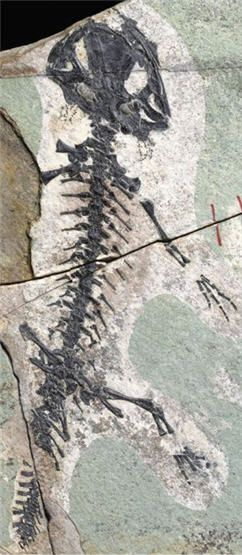 The world's oldest fossil of a salamander has been discovered. Six fossils of 157 million year old salamanders were found embedded in volcanic ash in an ancient lake bed in western Liaoning Province, China.  Photo: Mick Ellison, American Museum of Natural History/Proceedings of the National Academy of Sciences   Posted on March 25, 2012