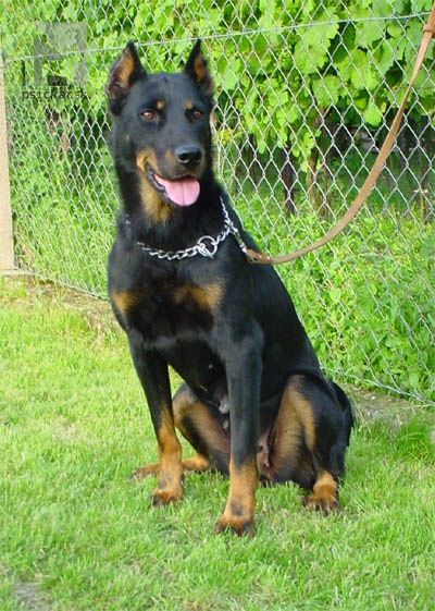 37 Best Images About Beauceron Breed On Pinterest