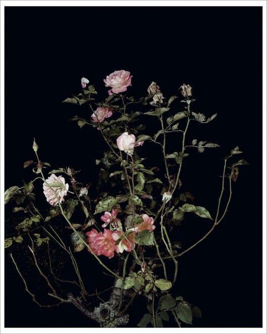Sarah Jones The Rose Gardens (Display: II) (III) (2013) Edition of 45 C-print  available on countereditions.com