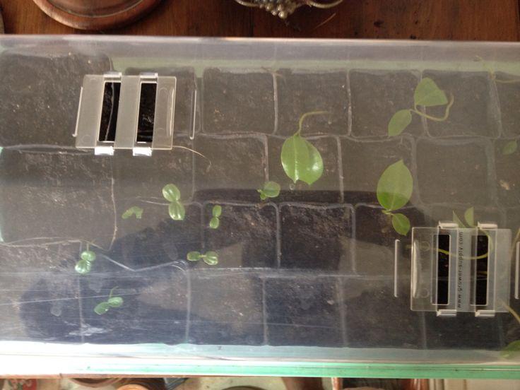 Annona muricata and Passiflora edulis seedlings (soursop/zuurzak/guanábana/graviola/guyabano and Brazilian passionfruit/maracujá/maracuyá):  a small, but mighty part of the plantation of Ewe Hey Yansa!, my plant market to be.