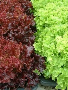 Oderings Garden Centre | Vegetable - Lettuce, Gormet Coral