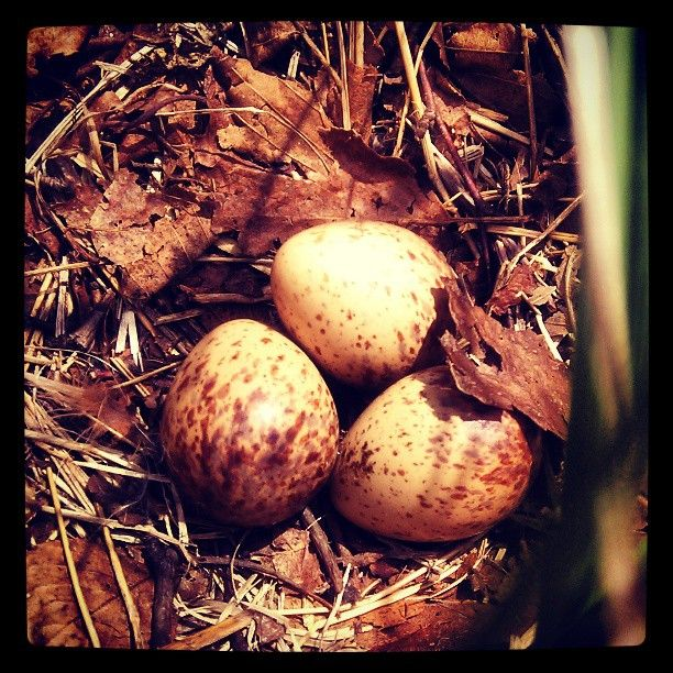 Ruffed grouse eggs and nest in the Oneida County Forest outside of Rhinelander