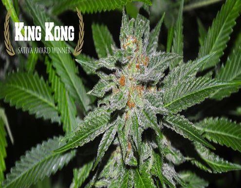 King Kong Regular Cannabis Seeds