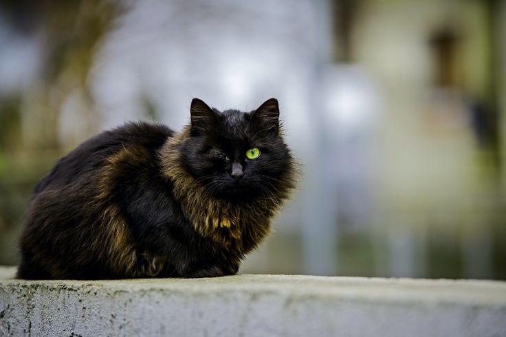 Pirate cat - null