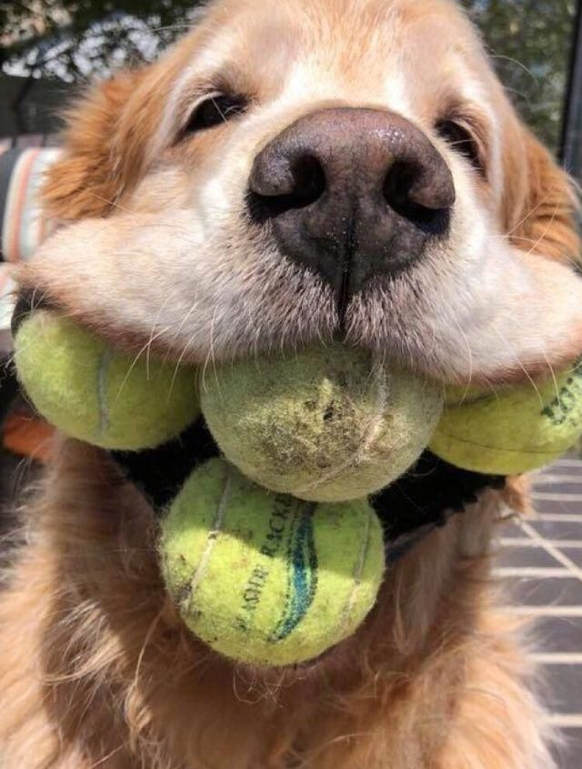 Discover The Devoted Golden Retriever Personality