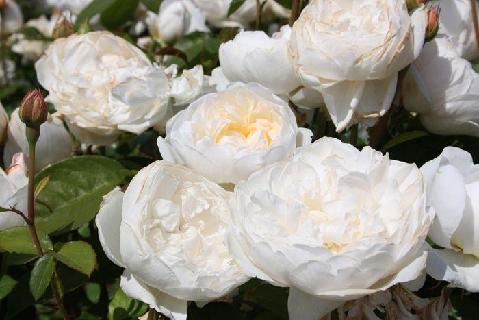 Старые английские розы от David Austin - Дизайн интерьеров | Идеи вашего дома | Lodgers