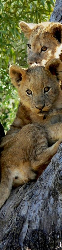 Lion cubs. So cute! big cat wild animal wildlife nature photography