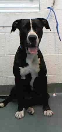 STAR (A1670488) I am a female black and white American Bulldog mix.  The shelter staff think I am about 1 year and 6 months old.  I was found as a stray and I may be available for adoption on 01/10/2015. — hier: Miami Dade County Animal Services. https://www.facebook.com/urgentdogsofmiami/photos/pb.191859757515102.-2207520000.1420573172./903199493047788/?type=3&theater