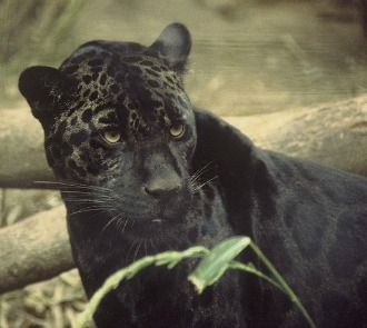Black Panther is calm cool and collected, breathing in the mist of power, centered deep in the core of soul power... breathing in a mystical type of endurance and strength that builds and grows with each moment, each breath. ..
