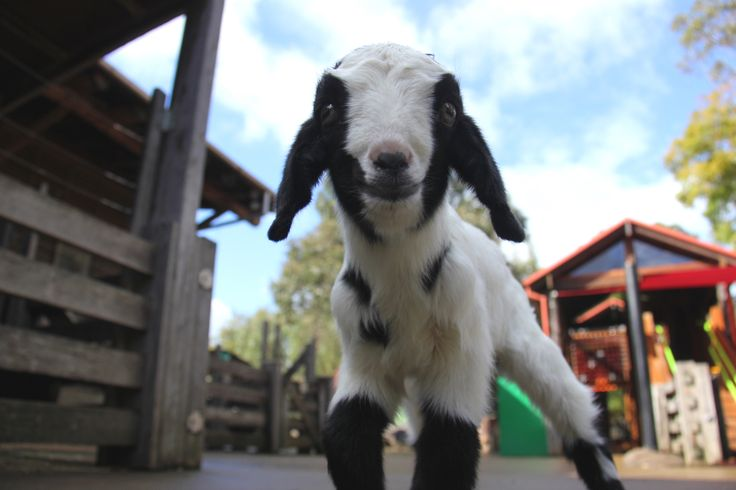 This little goat kid is getting a helping hand from keepers at Backyard to Bush after mum was unable to care for her. The six-day-old, who keepers have nicknamed 'Pippi', is guzzling down her special goat's milk formula, growing in strength and already showing a very playful personality!