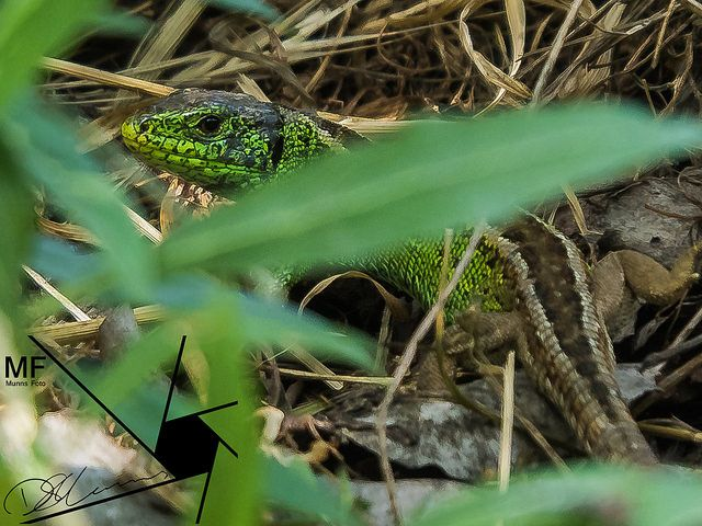 Lizzard | by Munns Foto