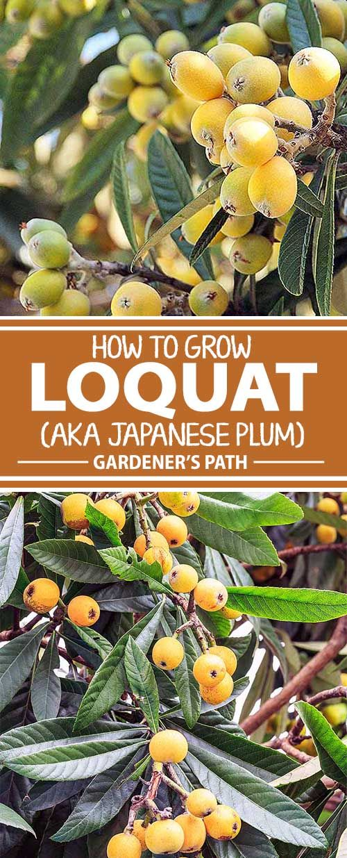 From Gardener's Path, learn how to grow loquat trees, an Asian import that offers a tropical flair and bears a small, orange-yellow, sweet-sour fruit that you won't find in grocery stores. These exotic treasures are delicious fresh as well as in pies and preserves.