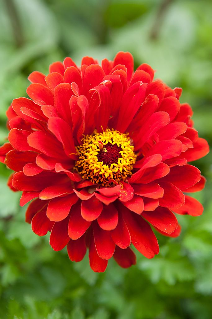 Zinnia elegans 'Whirlygig'. With its distinctive flowers, this variety is attractive to pollinating insects, especially hoverflies. Find out more about this zinnia at http://www.gardenersworld.com/plants/zinnia-elegans-whirlygig/4358.html Photo by Marsha Arnold.