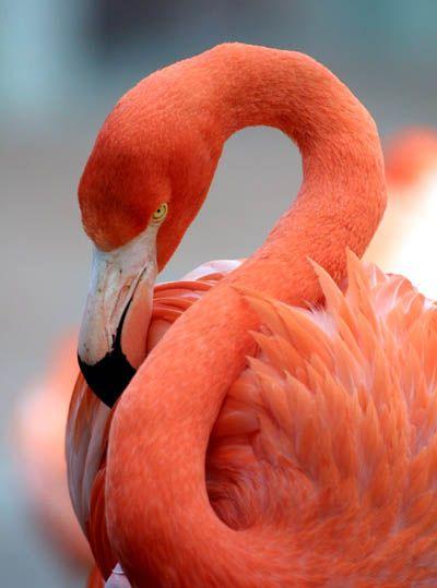 flamingo, international bird sactuary, Rio Lagartos, Celestun National Park, Yucatán, Mexico