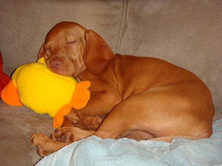 my sweet vizsla puppy ...