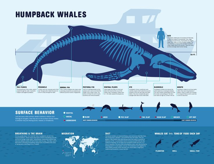 Humpback Whale fact sheet (double click picture to enlarge to read small print)