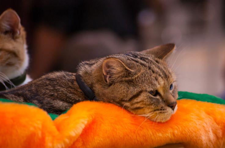 Фото кошек и котят – фотографии кошек с выставки в Москве в хорошем качестве и высоком разрешении можно скачать бесплатно.