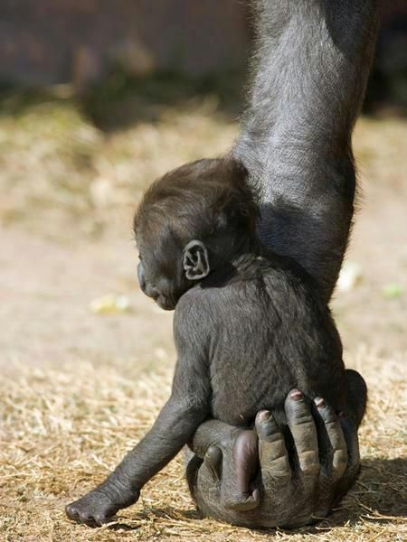 http://agitare-kurzartikel.blogspot.com/2012/09/juicy-plus-das-sind-mindestens-7.html Chimp safe in his mother's hand