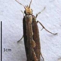 A diamondback moth | SAREFO, VIA WIKIMEDIA COMMONS / CC-BY-SA-3.0